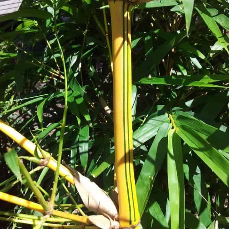Painted Bamboo, spectacular showcase of a bamboo