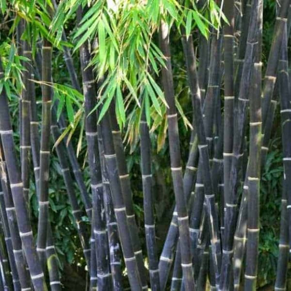Java Black Bamboo plants. Sydney Bamboo