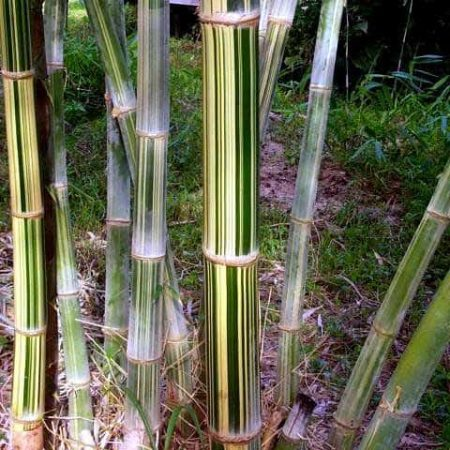 Maxima bamboo. A decorative addition to any tropical themed garden