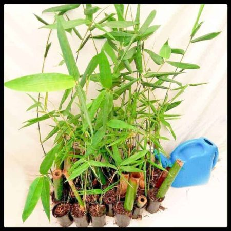 Buy oldhamii bamboo plants for sale from Sydney Bamboo
