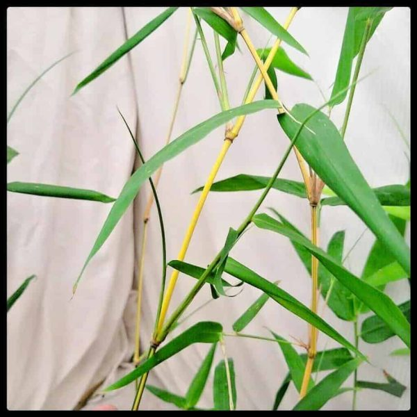 Painted Bamboo from Sydney Bamboo
