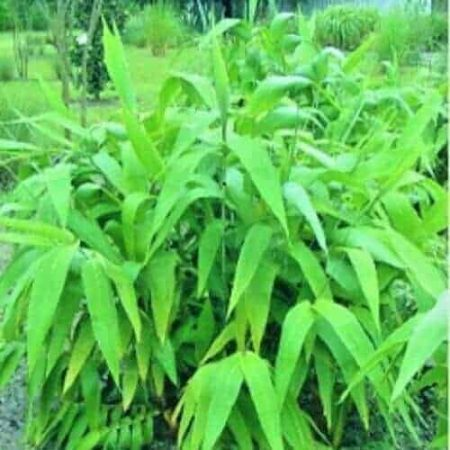 Tiger Grass from Sydney Bamboo