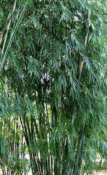 Dark Weavers Clumping Bamboo